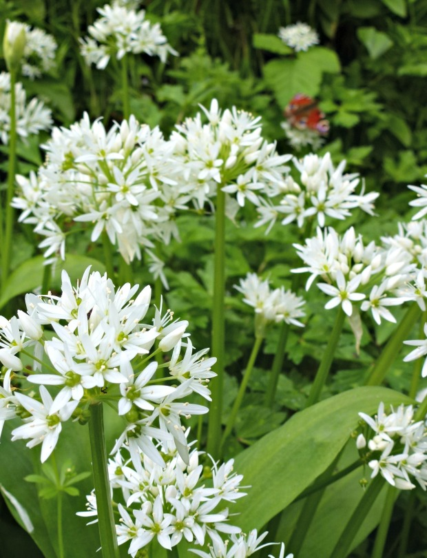 wild garlic in spring