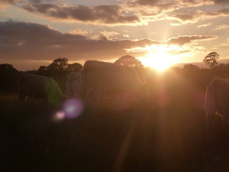 cows in a field. sunset