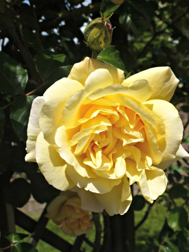 yellow rambling rose