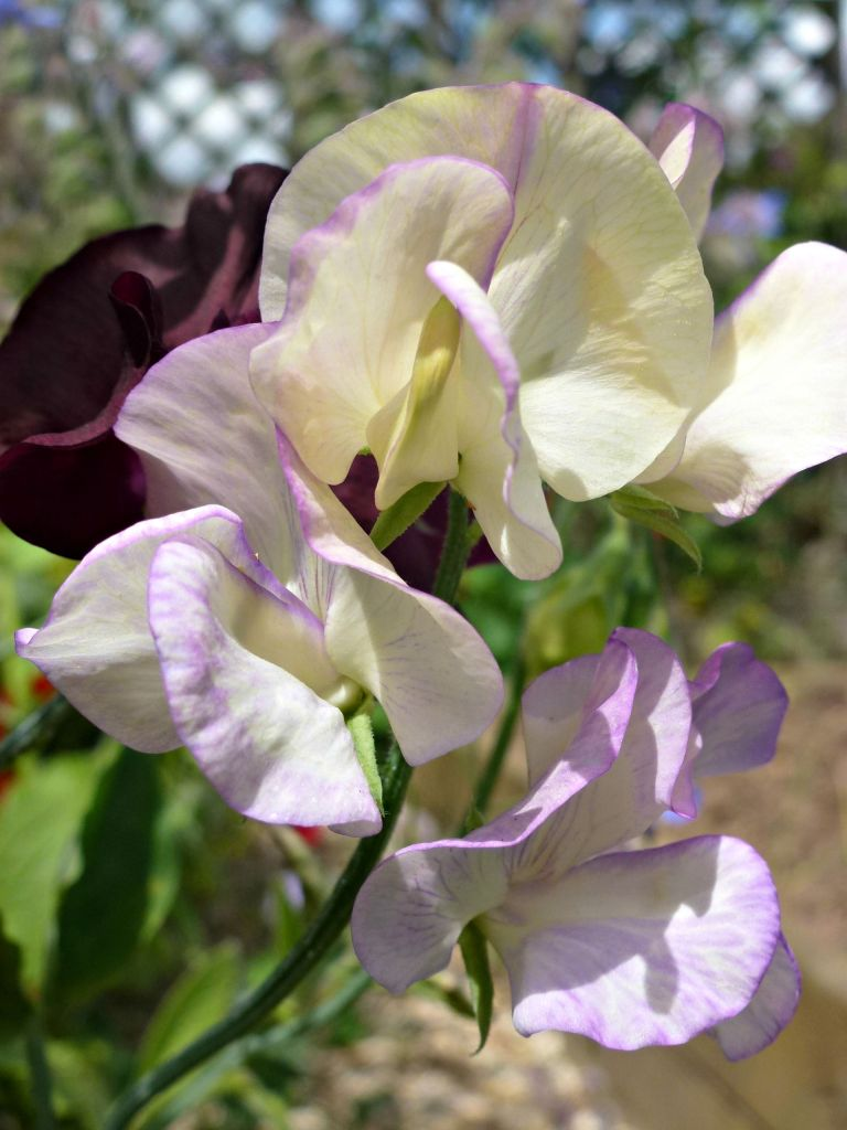 beautiful sweet peas.