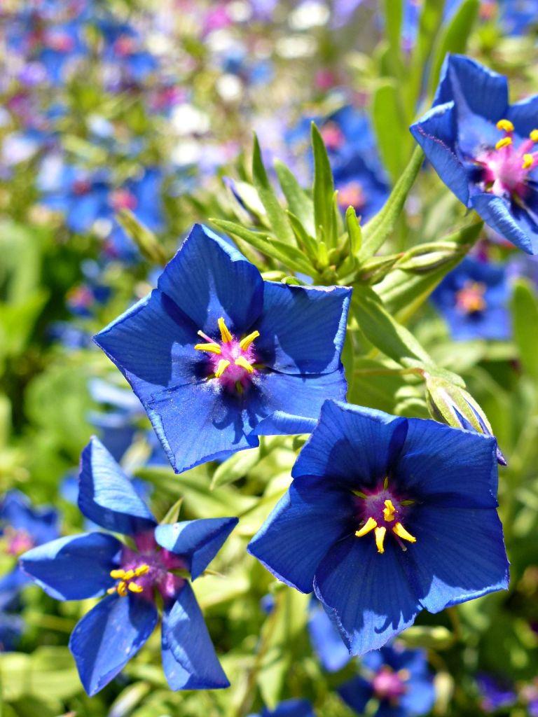 blue anagallis