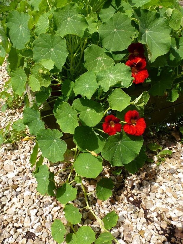 nasturtium starting to flower