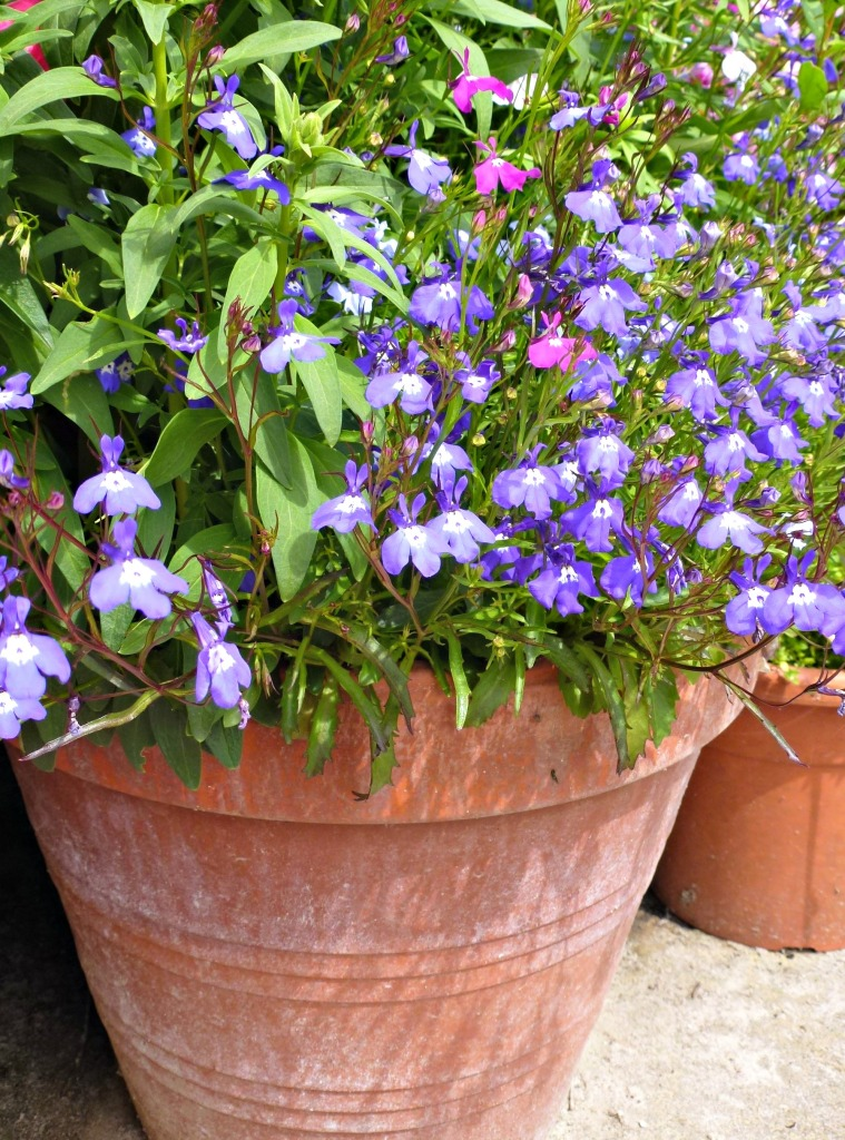 potted lobelia