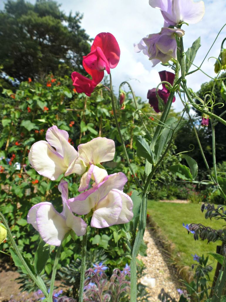 sweet peas in the garden.