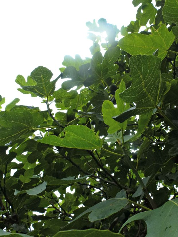 Looking up at the fig tree.
