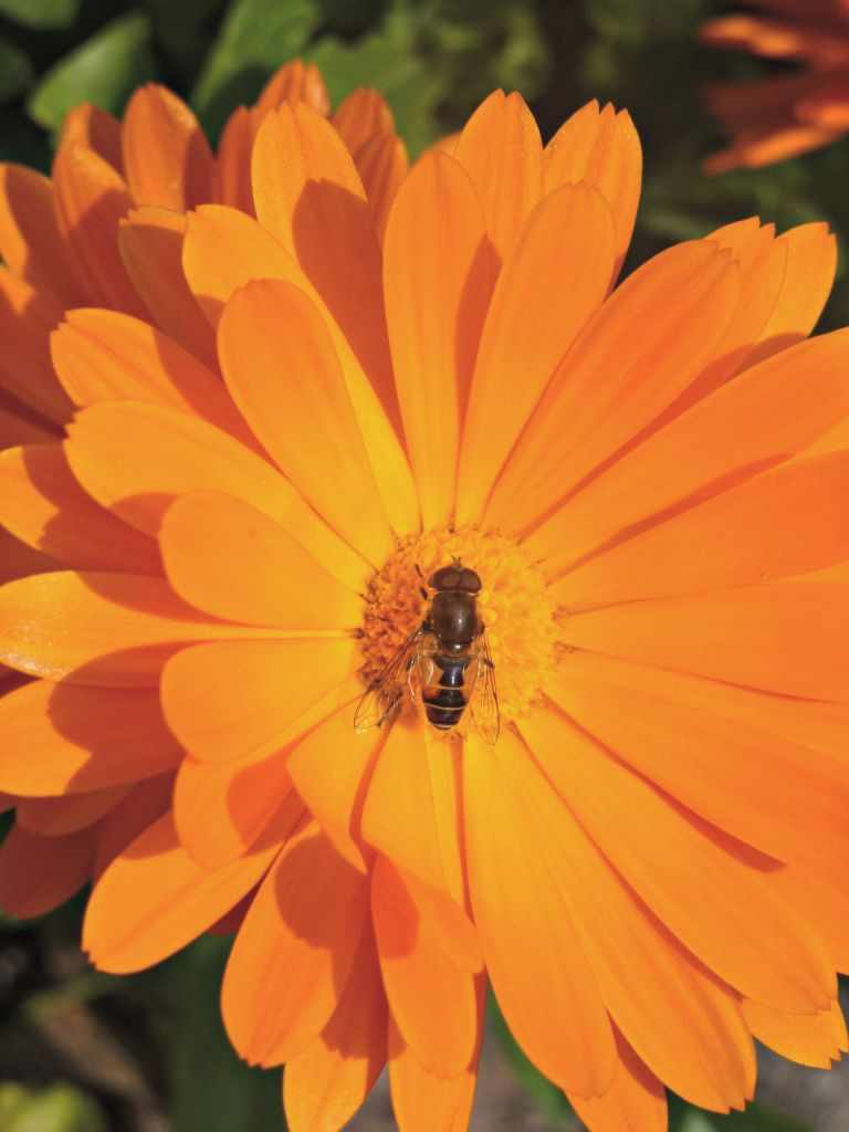 calendula and bee