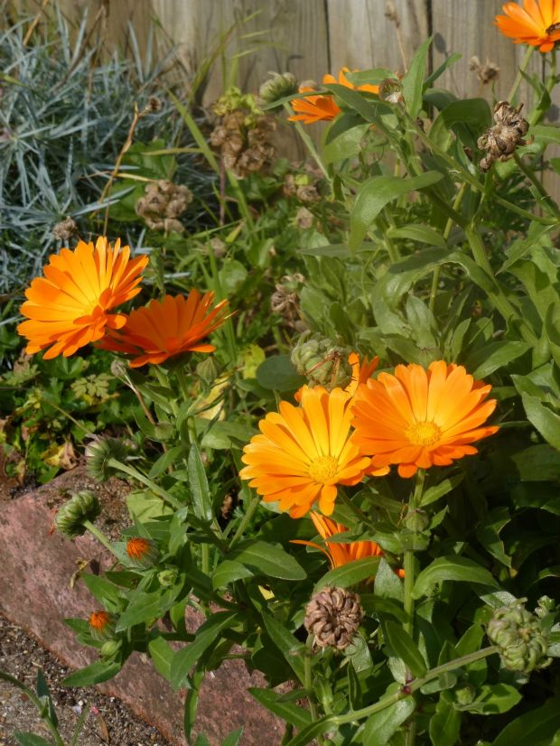 calendula in the front garden.