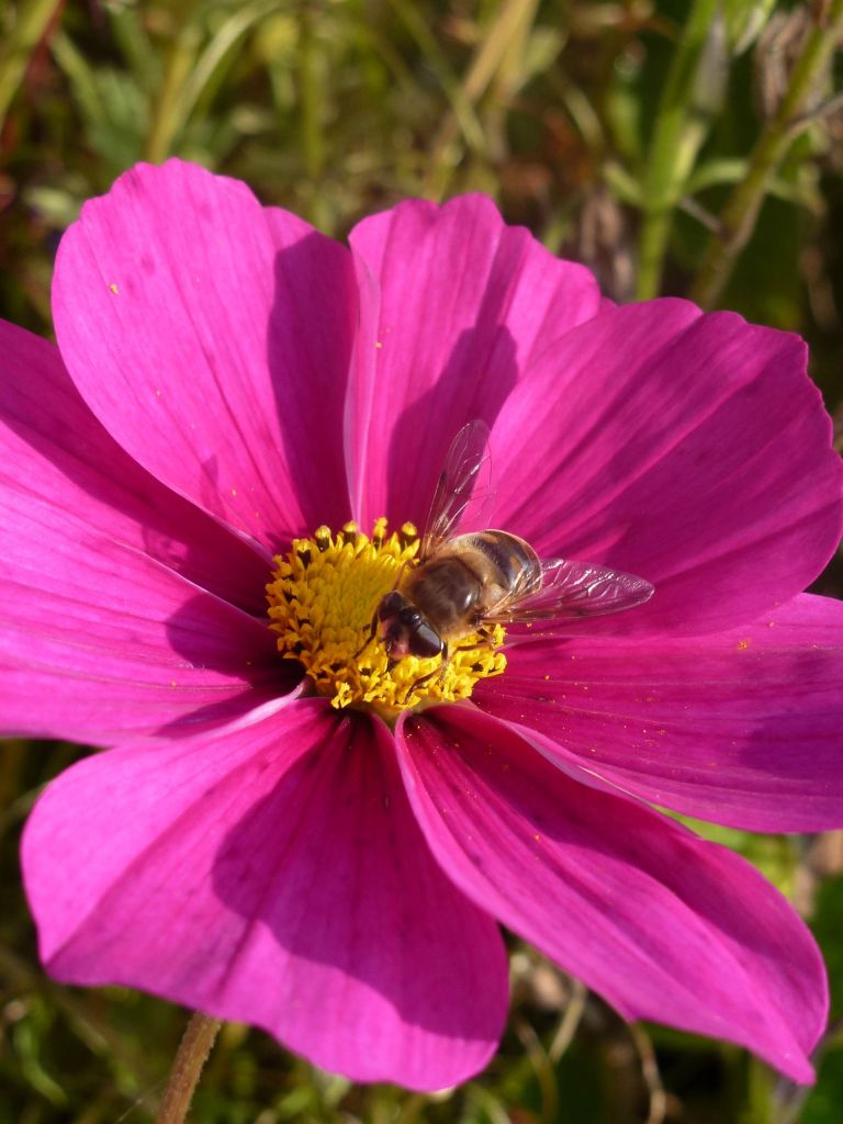 Pink cosmos and bee