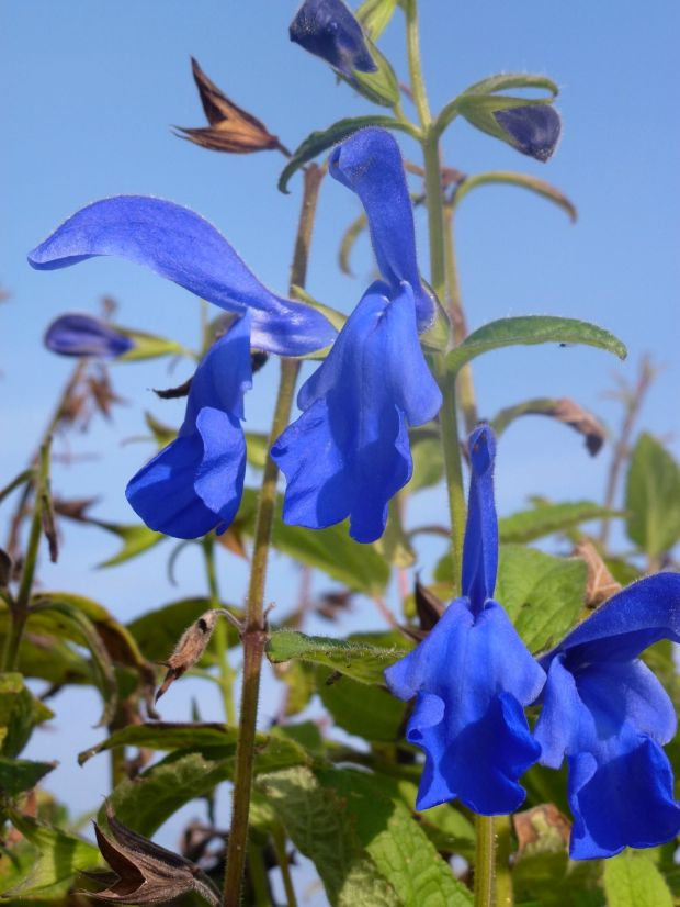 salvia patens. cambridge blue.