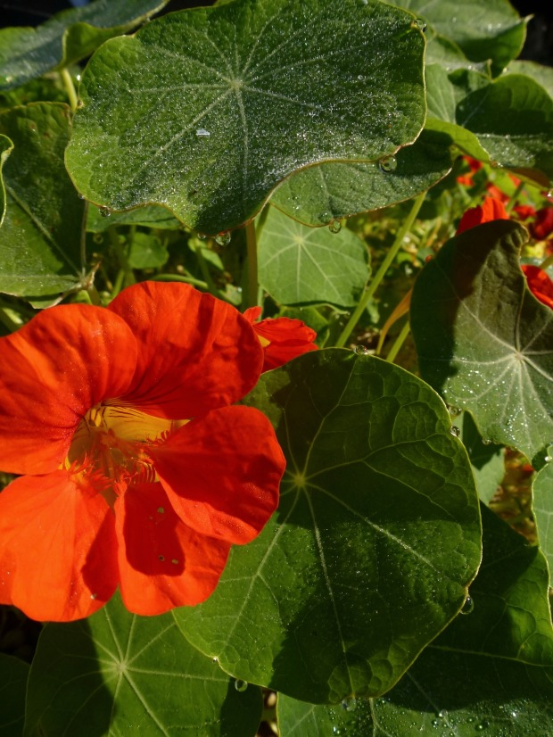 early morning nasturtiums