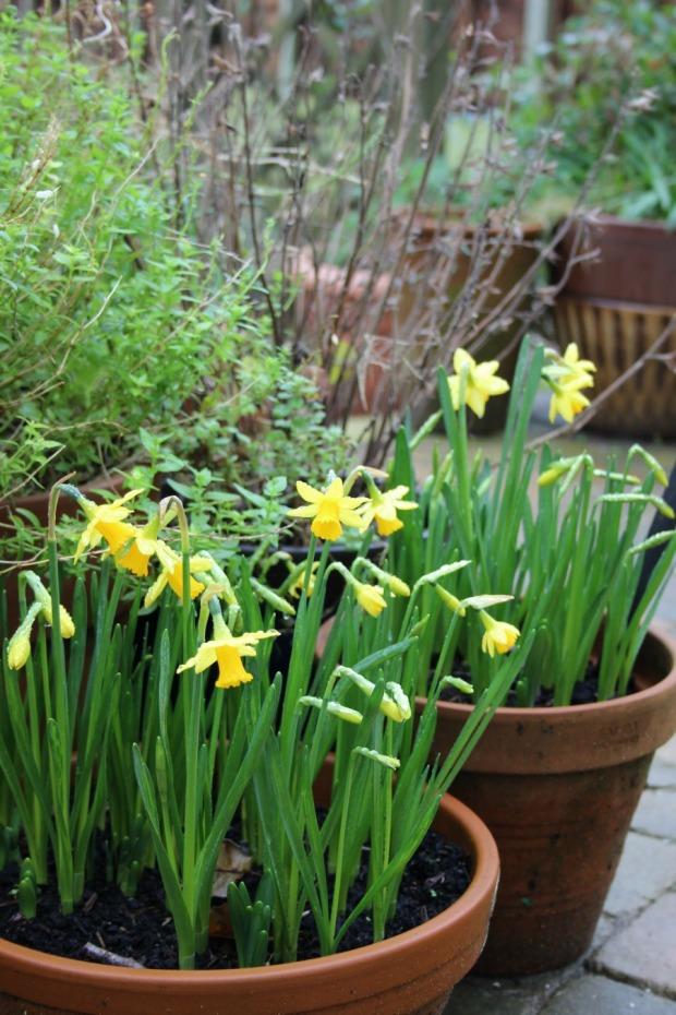 daffs in garden