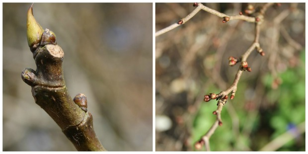 Budding branches.