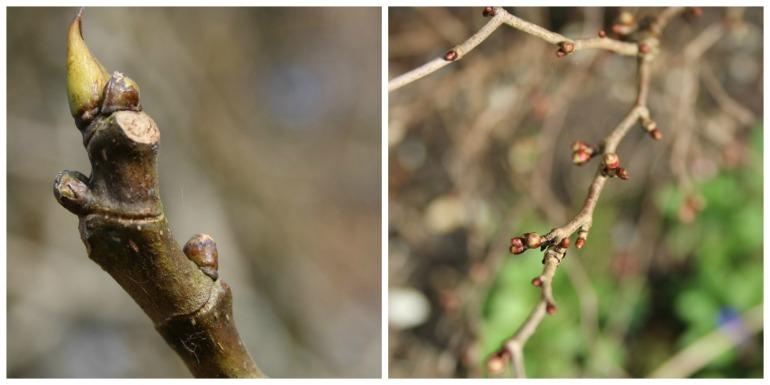 Budding branches.