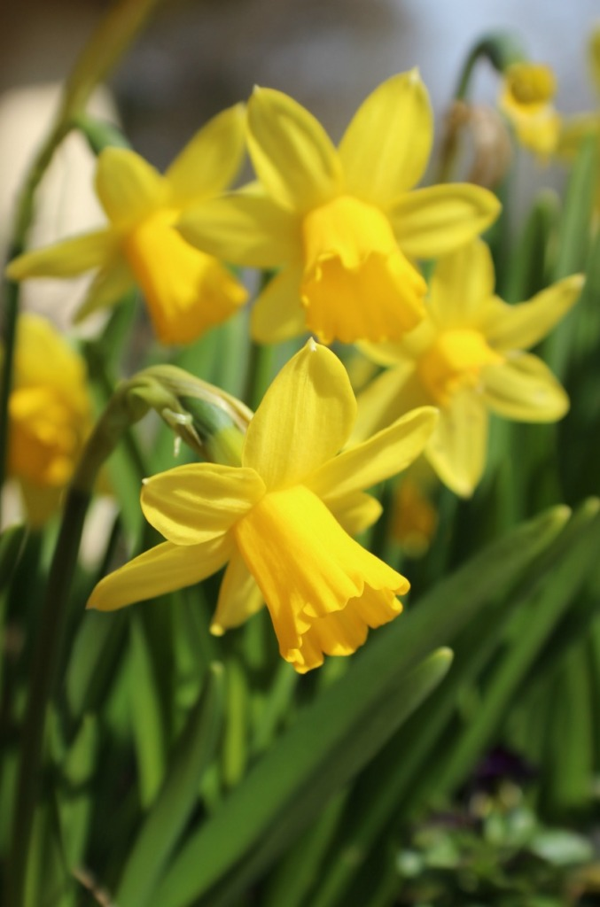 Daffodils still going.