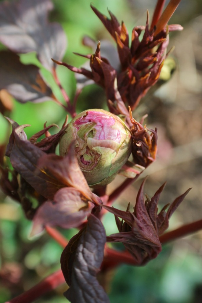 Peony in March