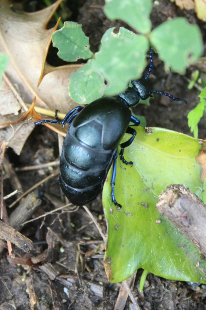 chasing blue beetles