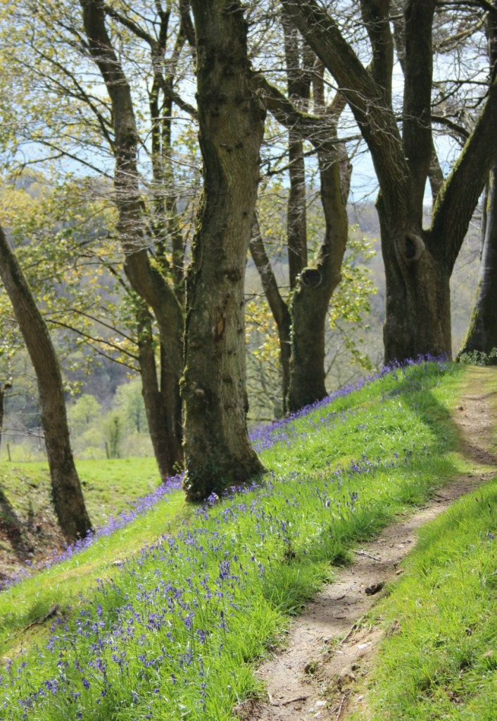 Path through the bluebells.