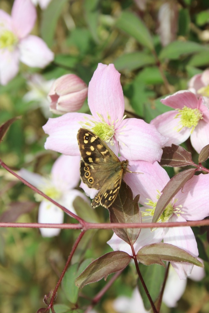 butterfly and clematis