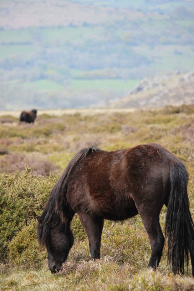 Hanging out with Dartmoor ponies.