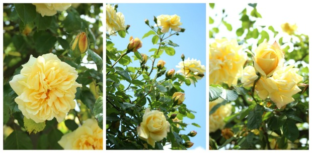 A yellow rambling rose