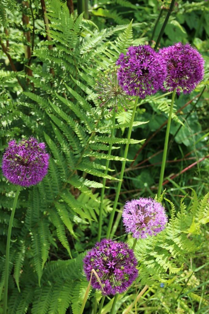 Allium and ferns