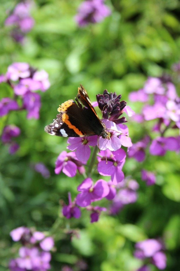 butterfly on erysimum