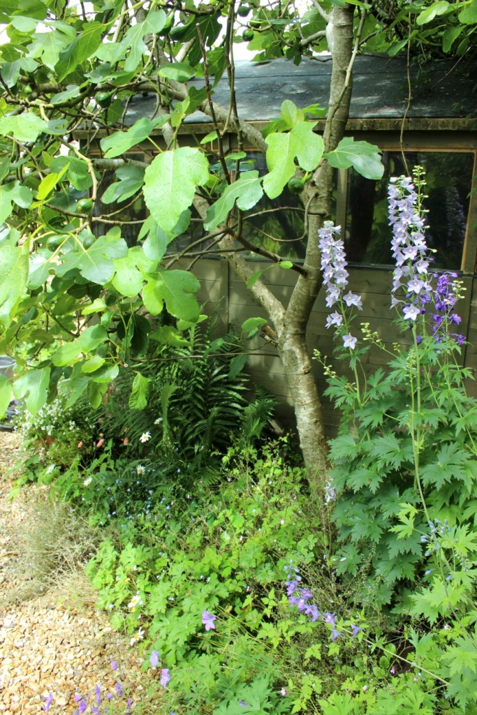 delphiniums by the shed.