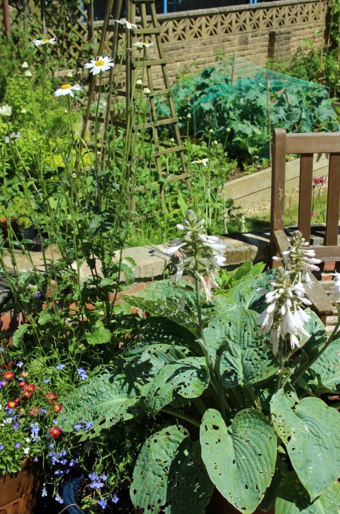 Hosta in the garden.