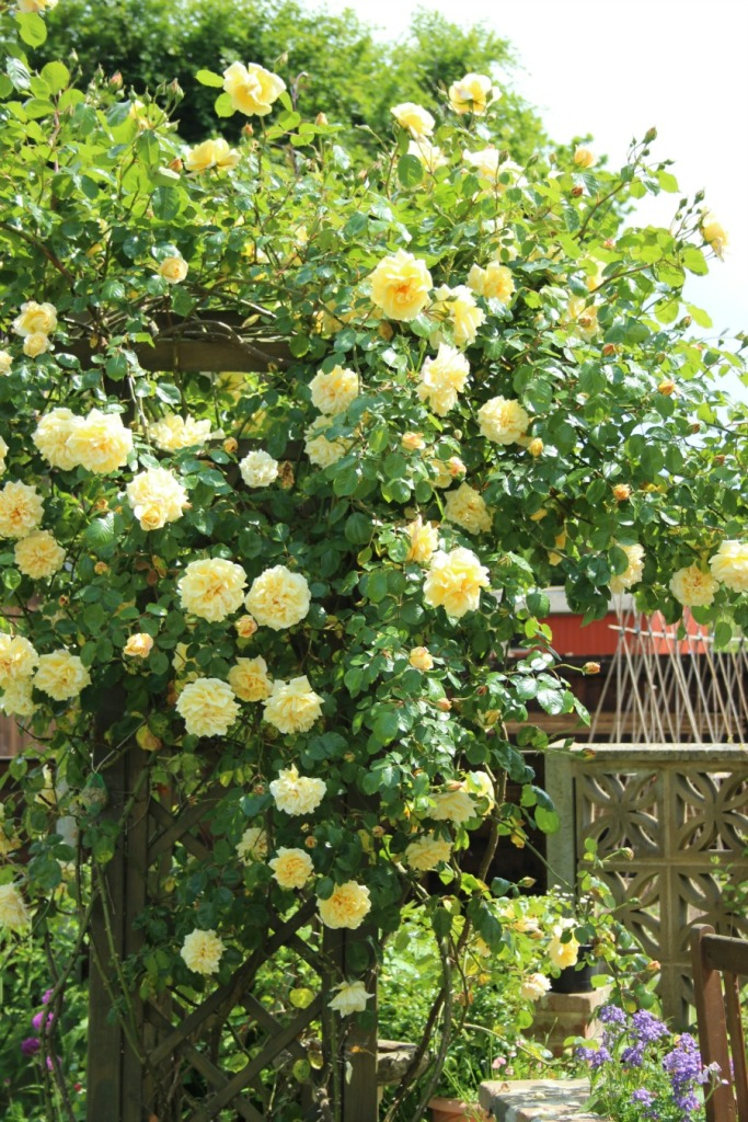 Swathes of yellow rambling rose