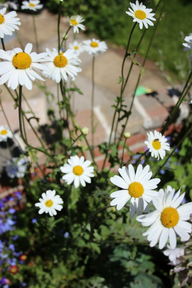 ox eye daisy in a pot