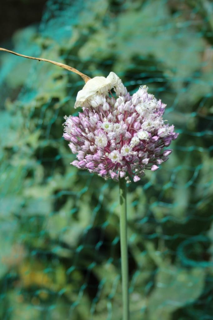 leek flower head