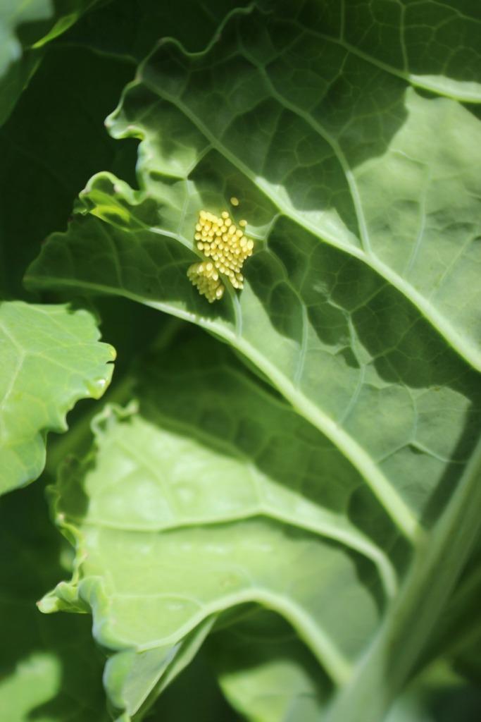 cabbage-white-eggs