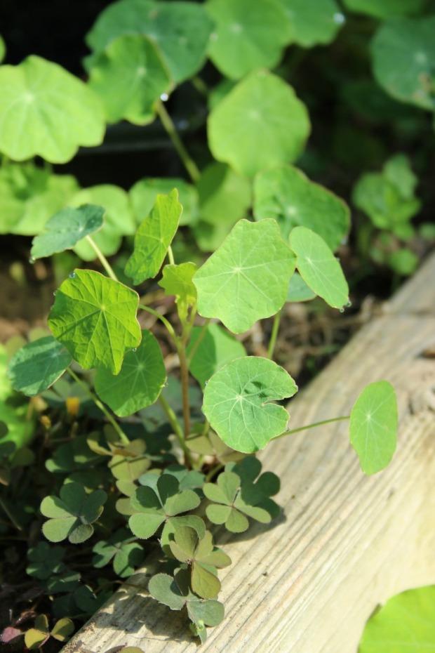 nasturtiums-and-oxalis