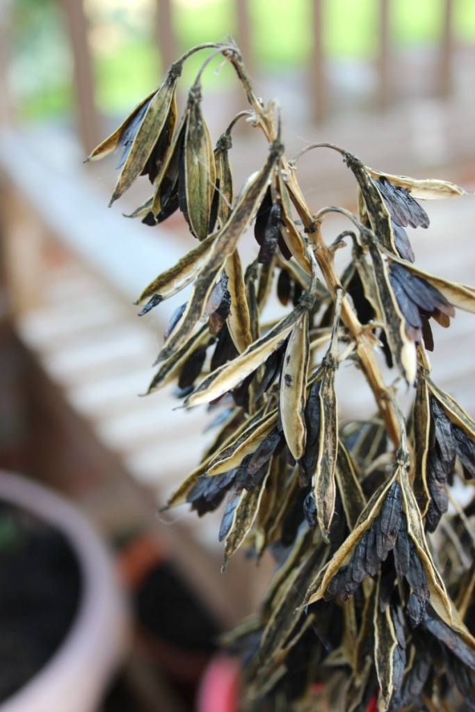 hosta-seeds