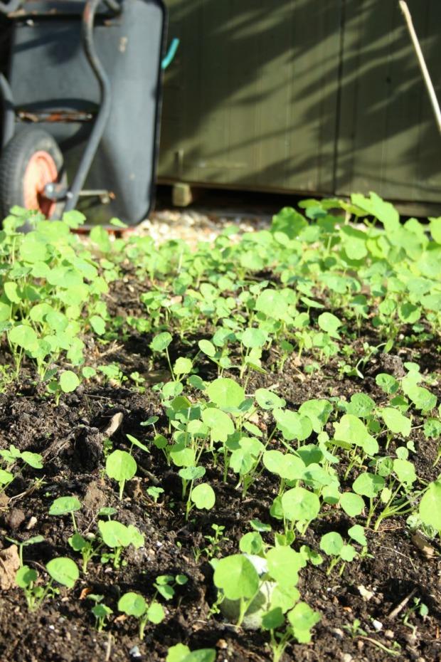 nasturtiums-reseeding