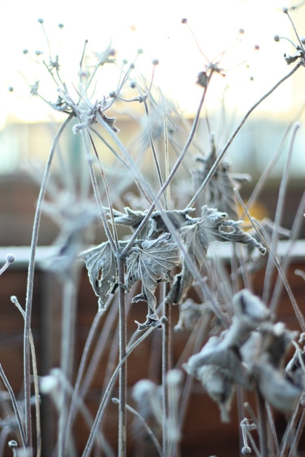 cold-plant